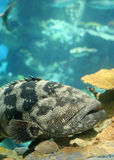 Große tropische Fische Lizenzfreie Stockfotografie