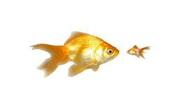 Große und kleine Goldfishes (Leistung) Stockfoto