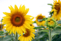 Große und kleine Sonnenblume Stockfotografie