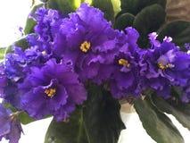 Große Usambaraveilchenblumenblüte Lizenzfreies Stockbild