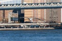 Große Vogelfliegen wowards Kamera über New- Yorkbucht Lizenzfreies Stockbild