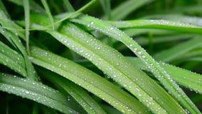 Große Wassertropfen auf den grünen Blättern von Daylily stock video footage
