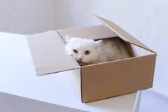 Große weiße Cat Crawled Into The Box und Sitzen innerhalb es Stockfoto