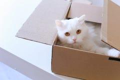 Große weiße Cat Crawled Into The Box und Sitzen innerhalb es Stockfotos