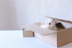 Große weiße Cat Crawled Into The Box und Sitzen innerhalb es Lizenzfreie Stockfotografie