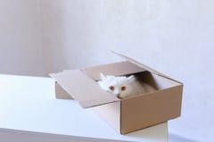 Große weiße Cat Crawled Into The Box und Sitzen innerhalb es Lizenzfreie Stockbilder