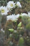 Große weiße Kaktusblumen Stockfotos