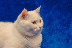 Große weiße Katze, die auf Blau sitzt lizenzfreies stockfoto