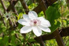 Große weiße Klematisblume stockfoto