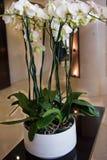 Große, weiße Orchidee auf dem Tisch Stockbild