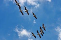 Große weiße Pelikane Stockfoto