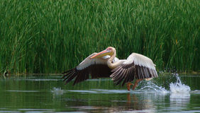 Große weiße Pelikane, Pelecanus onocrotalus Lizenzfreie Stockbilder