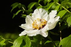 Große weiße Pfingstrosen blühen im Frühjahr Jahreszeit Paeonia rockii lizenzfreie stockfotos