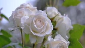 Große weiße Rose auf dem Hintergrund anderer Rosen Stockfotografie