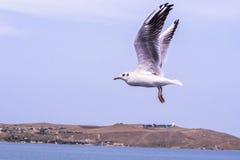 Große weiße Seemöwe, die schnell über das Meer fliegt Stockbilder