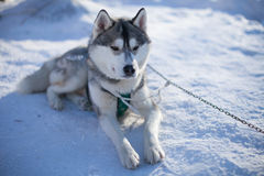 Große weiße und graue heisere Lügen auf dem Schnee Stockfotografie