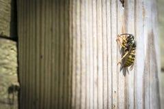 Große Wespe auf einer Holzoberfläche lizenzfreies stockfoto
