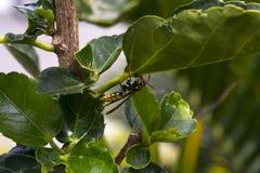 Große Wespe in einer Niederlassung im wilden Stockfotos