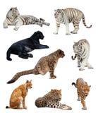 Große Wildkatzen über Weiß Stockbilder
