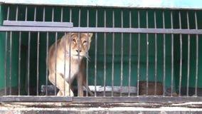 Große Wildkatzen hinter Gittern stock footage
