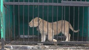 Große Wildkatzen hinter Gittern stock video