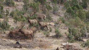 Große Zahl von den Elchen, die in den Zedernbäumen sich verstecken stock video