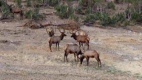 Große Zahl von den Elchen, die in den Zedernbäumen sich verstecken stock footage