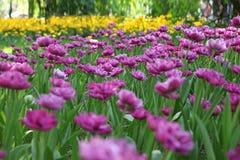Große Zahl von hellen Tulpen im Park Stockfotografie