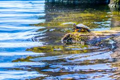 Große Zierschildkröten in Abbeville, Louisiana stockfoto