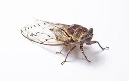 Große Zikadennahaufnahme Stockbilder