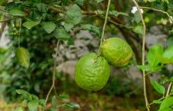 Große Zitrone, die am Baum hängt Stockbilder