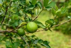Große Zitrone, die am Baum hängt Lizenzfreies Stockbild