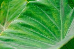 Großer Abschluss des Bonblatt-Grüns oben morgens Lizenzfreie Stockbilder