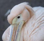 Großer Abschluss des weißen Pelikans oben Lizenzfreies Stockfoto