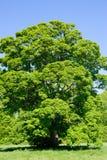 Großer Acer-Baum Stockbild