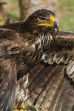 Großer Adler Lizenzfreie Stockbilder