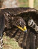 Großer Adler Lizenzfreies Stockfoto