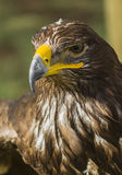 Großer Adler Lizenzfreie Stockfotos