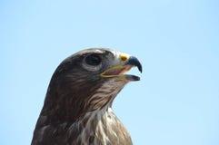 Großer Adler auf einem Raub Lizenzfreies Stockfoto