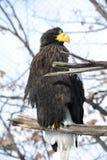 Großer Adler mit dem gelben Schnabel (Haliaeetus pelagicus) Lizenzfreies Stockbild