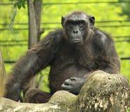 Großer Affe auf dem Felsen Stockfotografie