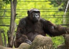 Großer Affe auf dem Felsen Lizenzfreie Stockfotos