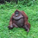 Großer Affe auf grünem Gras Stockfoto