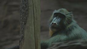 Großer Affe, der auf einem Baum und Blicken sitzt stock video