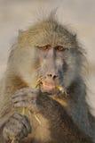 Großer Affe, der eine grüne Wurzel isst Stockbild