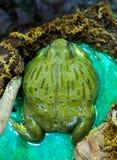 großer Afrikaner Pixie Frog, die vorwärts sitzt und schaut stockfotografie