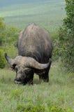 Großer afrikanischer Büffel Lizenzfreie Stockbilder