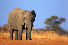 Großer afrikanischer Elefant, auf dem Kies roaad, mit blauem Himmel, Nationalpark Chobe, Botswana Lizenzfreie Stockfotografie