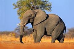 Großer afrikanischer Elefant, auf dem Kies roaad, mit blauem Himmel, Nationalpark Chobe, Botswana Stockbild