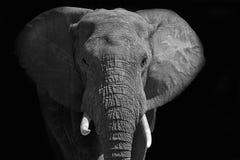 Großer afrikanischer Elefant, der in das Licht geht Stockfoto